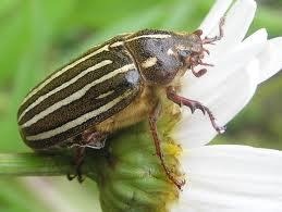 ten-lined beetle