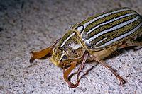 Ten-lined-June-Beetle